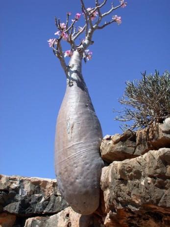 Mesta na Zemlji sa vanzemaljskim izgledom Socotra-island-tree-17